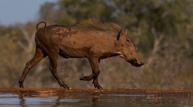 warthog hide photography