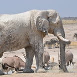 Anneline du Toit - Etosha Elephants quenching lunctime thirst