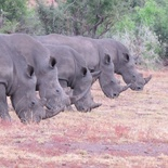 Graeme Mitchley - Rhinos all lined up