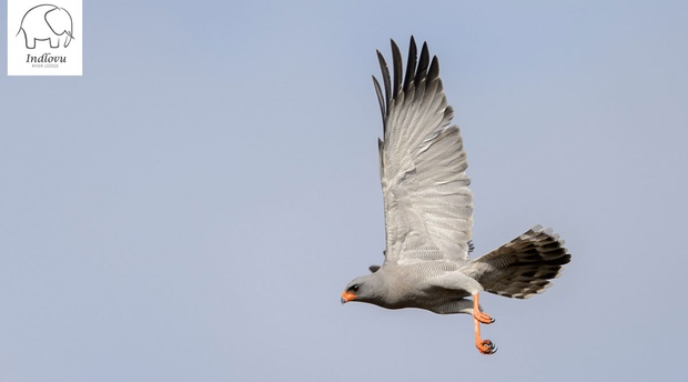 birding photography chanting goshawk