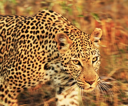wildlife photography of a leopard at Indlovu River Lodge in Greater Kruger Park