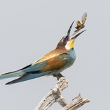 European bee eater - Braeme Holland