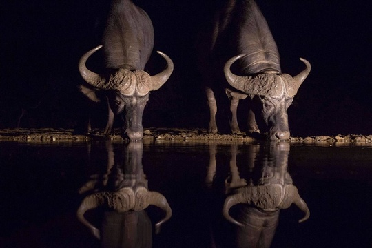 Buffalo reflection - Braeme Holland