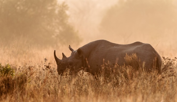 Gerald Knight - Black rhino in morning mist