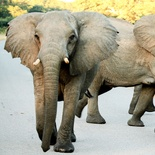 Sally Mackay - Elephant Road Block