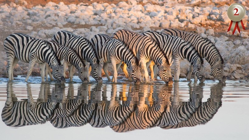 Zebra reflection - Braeme Holland
